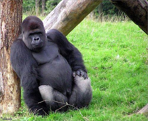 De gorilla en de leerkracht